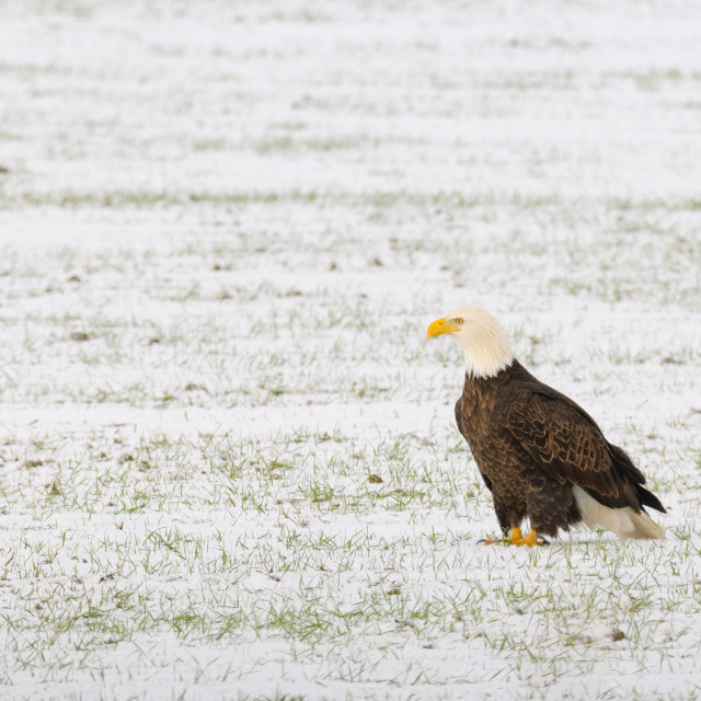 """Bald eagle sitting in a snowy field"" stock image"