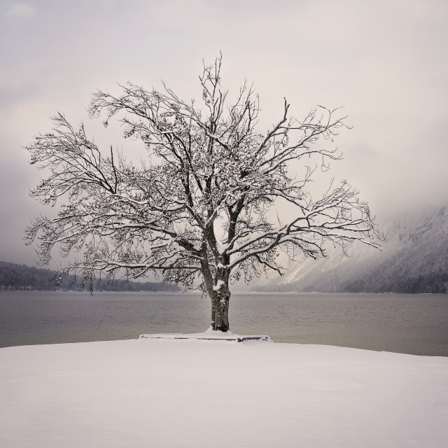 """""""Tree at the Bohinj Lake, Slovenian Alps"""" stock image"""