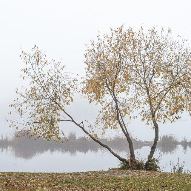 """Willow close to the Dnieper river in Kiev"" stock image"