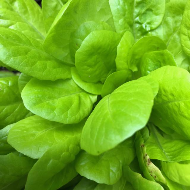 """""""Heirloom Buttercrunch Lettuce"""" stock image"""