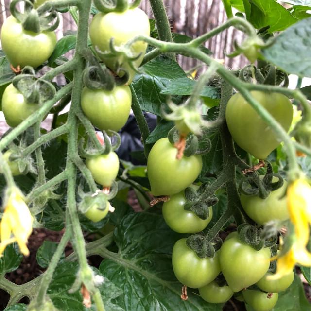 """Heart-Shaped Heirloom Tomato"" stock image"