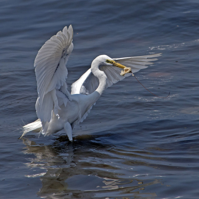 """Egret Catches Jelly Fish (I)"" stock image"