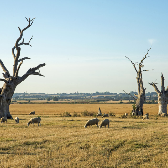 """The Petrified Trees at Mundon, Essex, UK"" stock image"