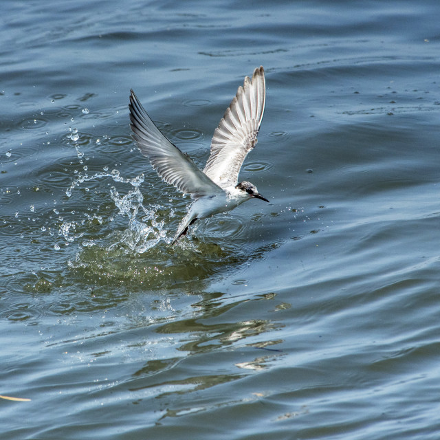 """Tern making a Splash"" stock image"