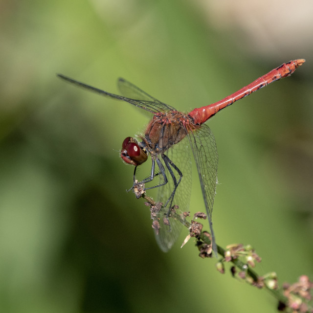 """Ruddy Darter Dragonfly (I)"" stock image"