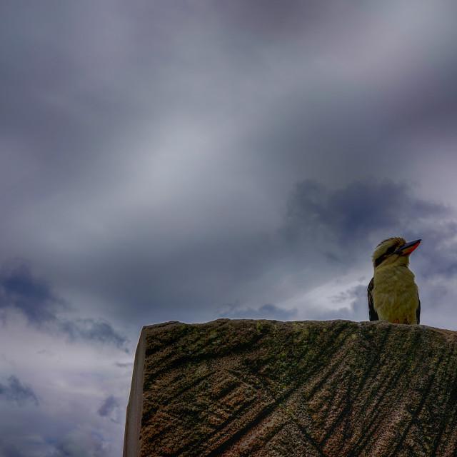 """Kookaburra Right"" stock image"