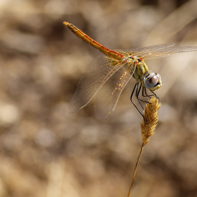 """""""Sympetrum dragonfly perched on a spike"""" stock image"""