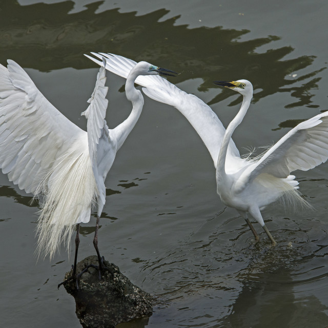 """Great Egrets-Conversation"" stock image"