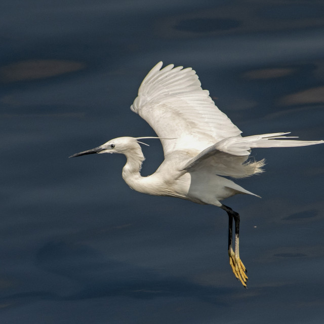 """Little Egret in Flight Mode"" stock image"