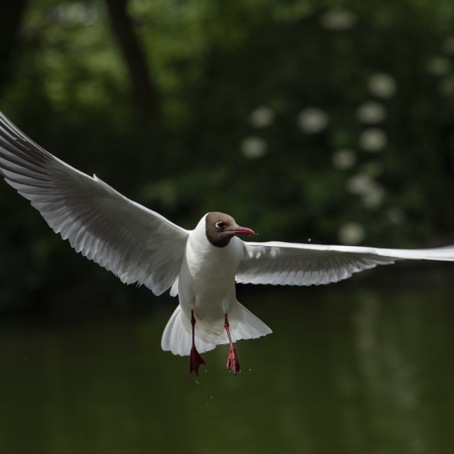 """Black Headed Gull Poised in Flight"" stock image"
