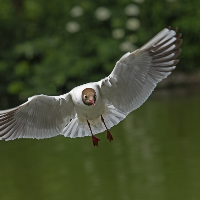 """Black Headed Gull (IV)"" stock image"