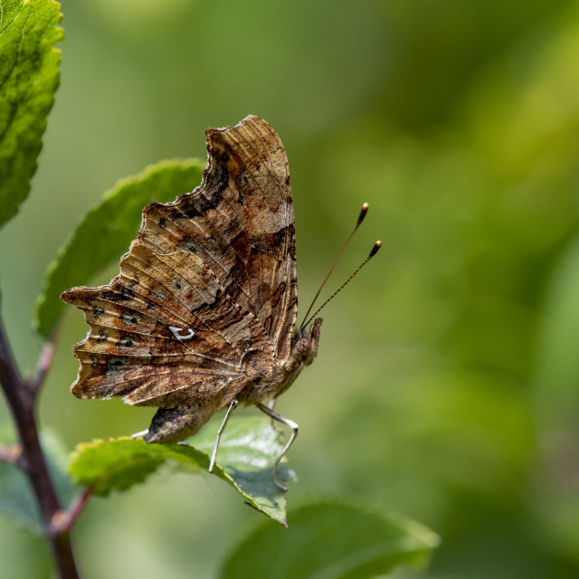 """Comma Butterfly Closed Wing"" stock image"