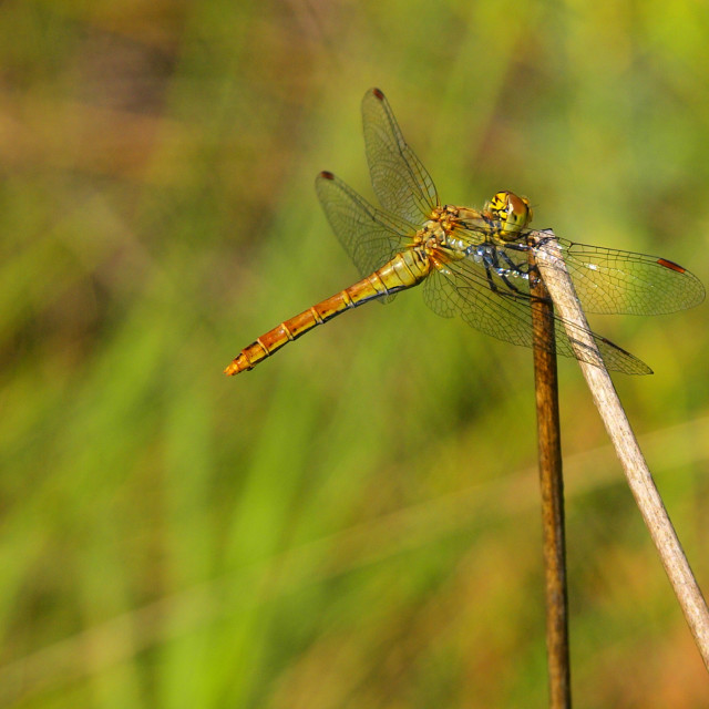 """""""Dragonfly perched on a stem"""" stock image"""