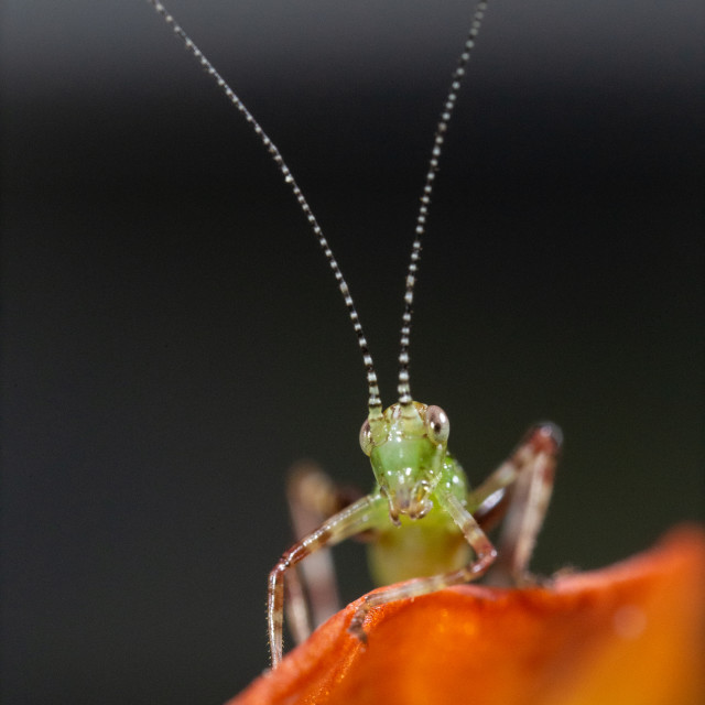"""Baby Katydid on Orange"" stock image"