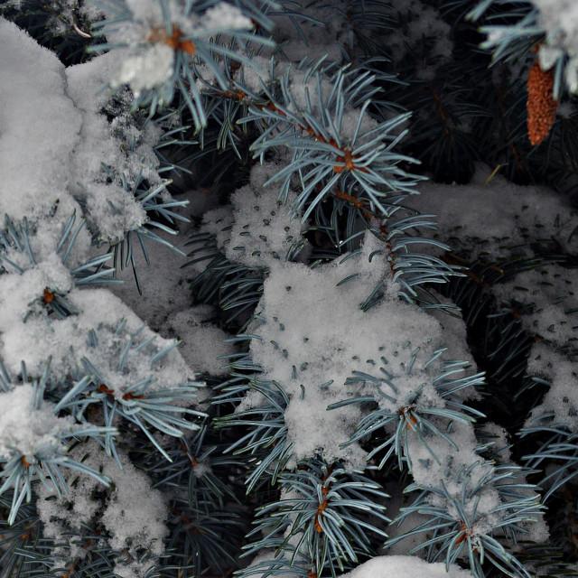 """Casper Snow Spruce"" stock image"