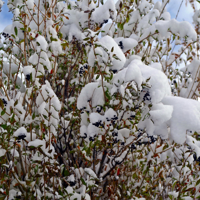 """""""Snow-Covered Serviceberries"""" stock image"""