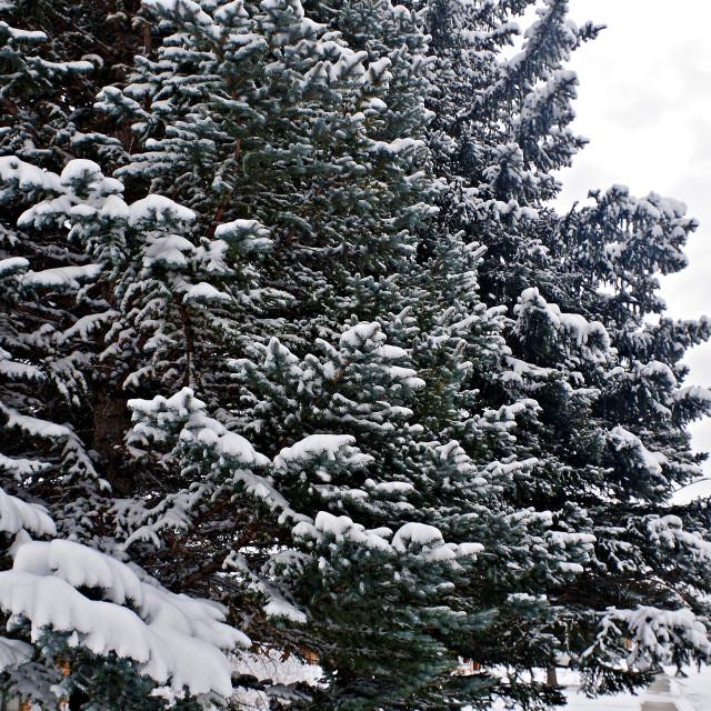 """Grand Snowy Spruce"" stock image"