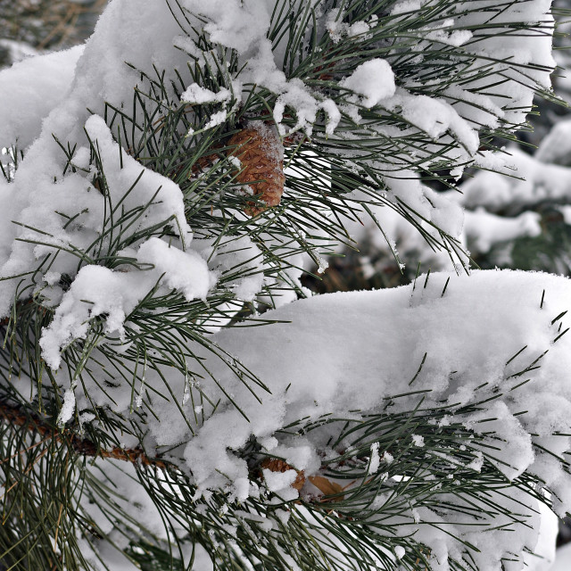 """Casper Snow Pine 18"" stock image"