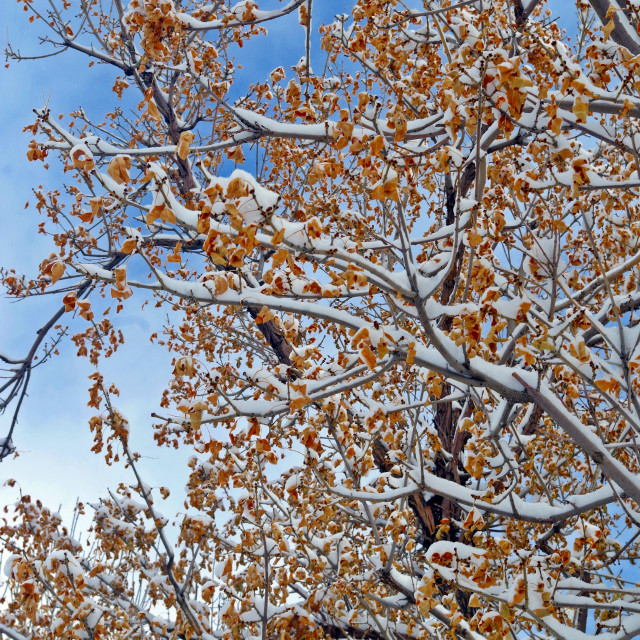 """""""Snow Over Unshed Leaves"""" stock image"""
