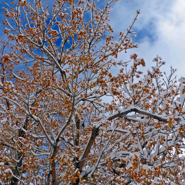 """""""Snowy Fall Boughs"""" stock image"""