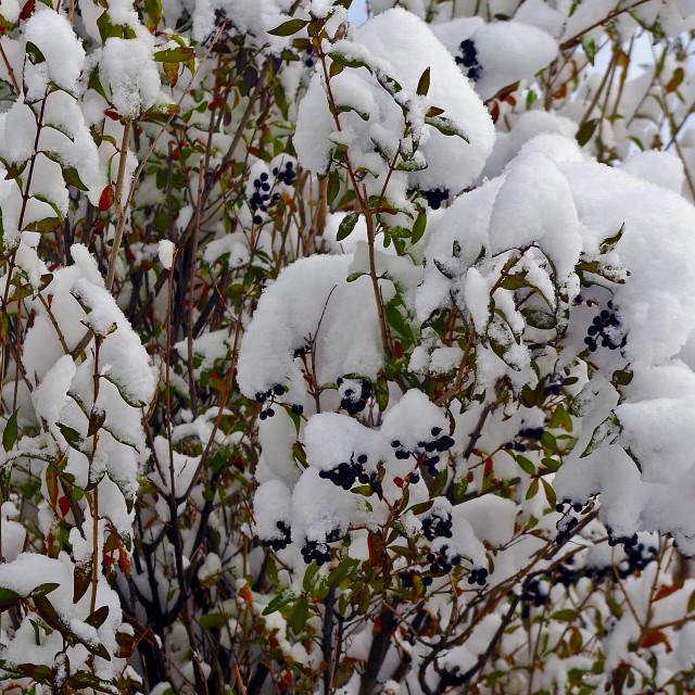 """Snowy Service Berries"" stock image"