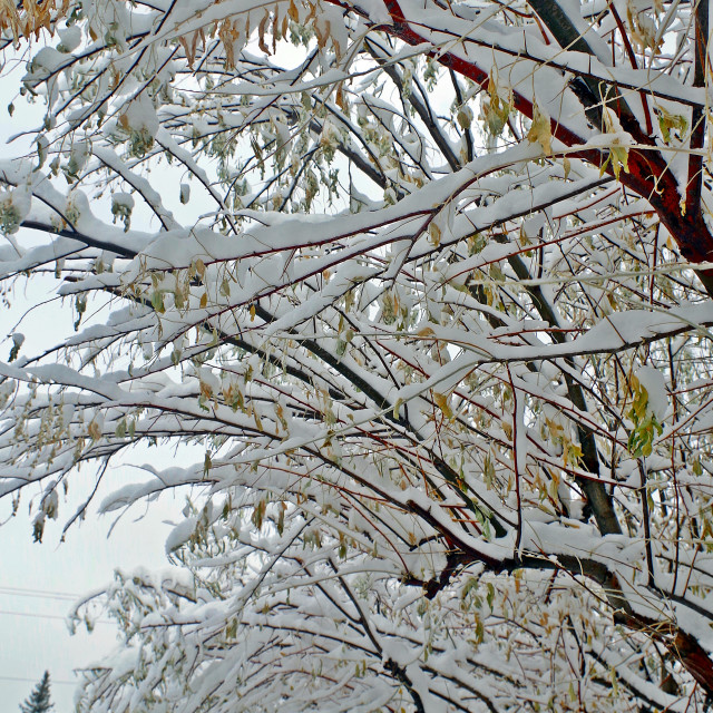 """""""Snowy Russian Olive Boughs"""" stock image"""
