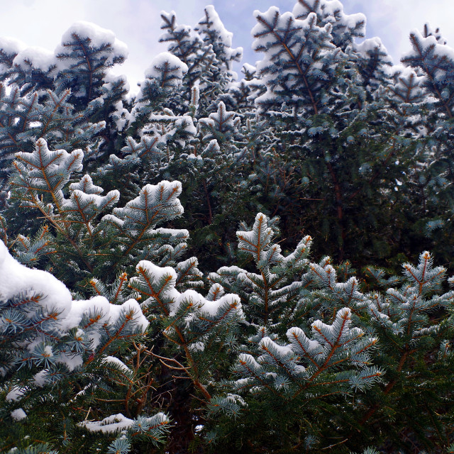 """""""Snowy Spruce Boughs"""" stock image"""
