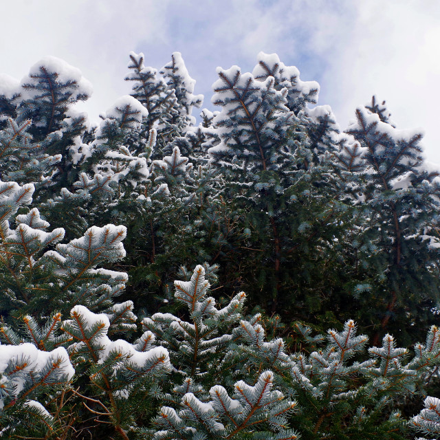"""""""Snowy Spruce Branches"""" stock image"""