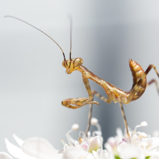 """Prey Mantis Baby"" stock image"