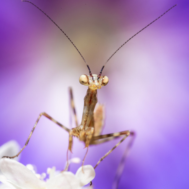 """Prey Mantis closeup"" stock image"