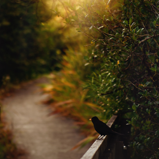 """Blackbird at sunrise"" stock image"