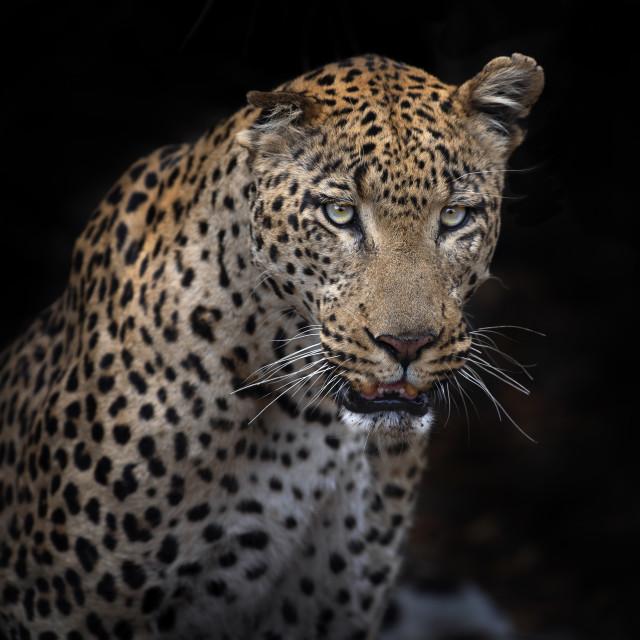 """Beautiful male leopard"" stock image"
