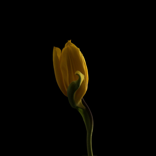 """Yellow Tulip"" stock image"