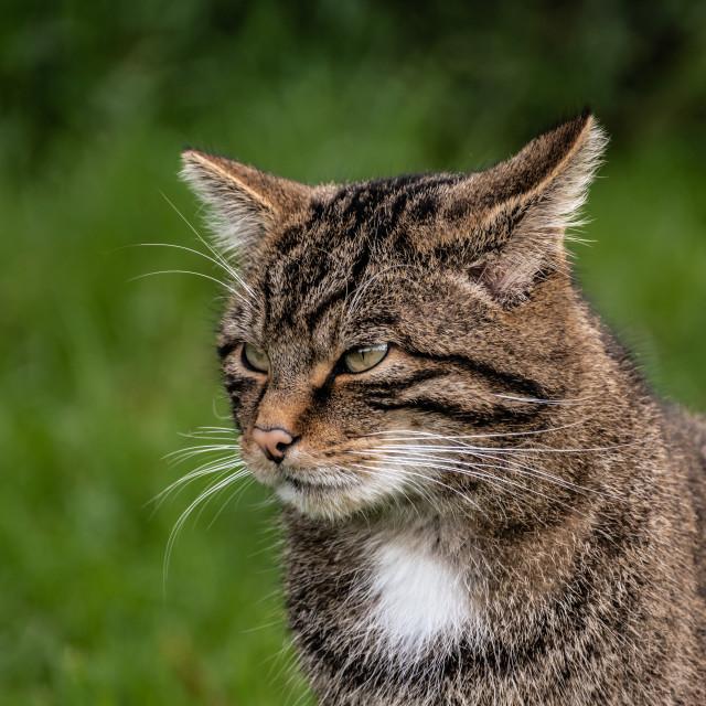 """Scottish Wild Cat"" stock image"