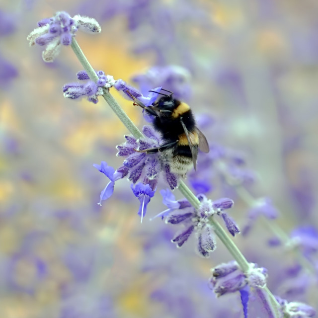"""Bee reaches the top of a lavender stem"" stock image"