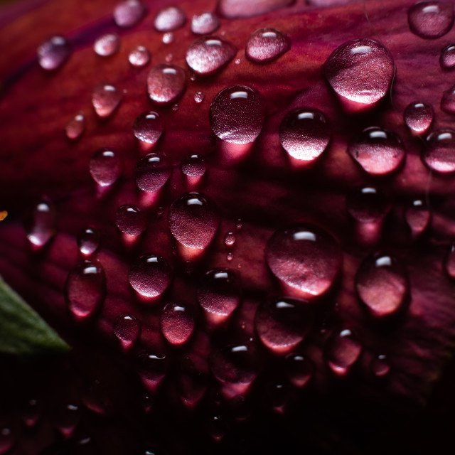 """""""Water Droplets on a Pansy"""" stock image"""