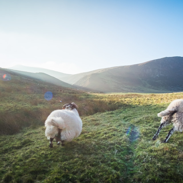 """Pentland Sheep"" stock image"