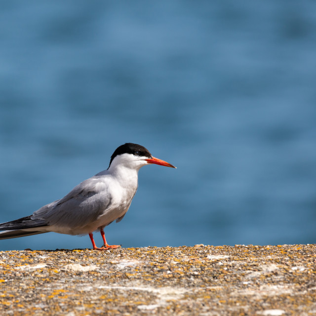"""""""Common Tern"""" stock image"""