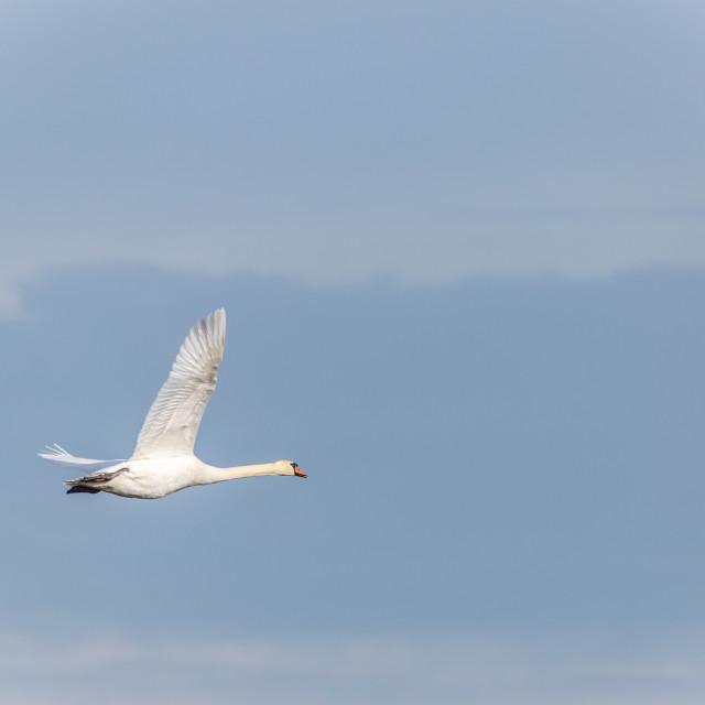 """""""Mute Swan in Flight"""" stock image"""