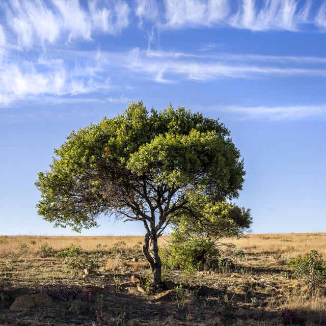 """Tree on Kudu Private Nature Reserve"" stock image"
