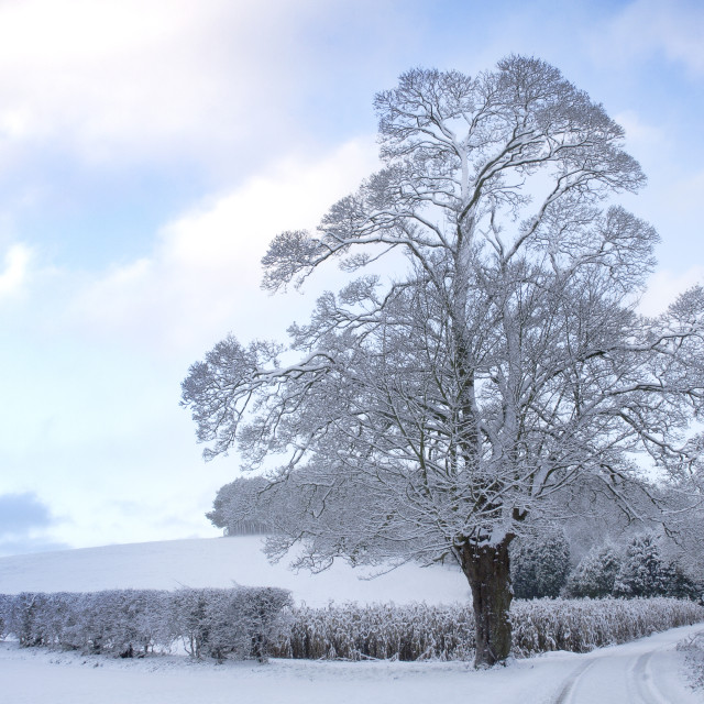 """Snow laden trees in Rothwell"" stock image"