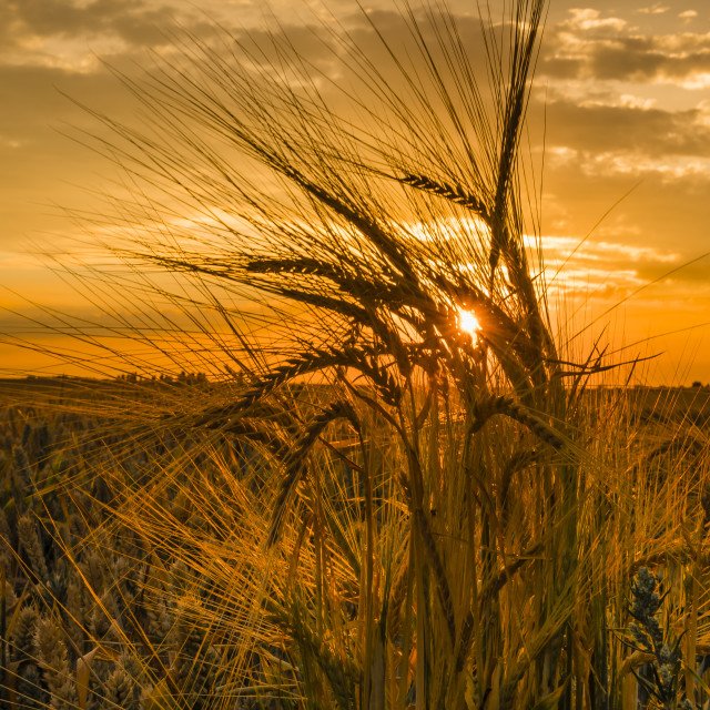 """""""Fields of gold, Kent"""" stock image"""