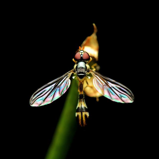 """""""Fruitfly"""" stock image"""