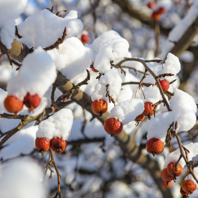 """""""Winter berries covered with snow on a tree"""" stock image"""