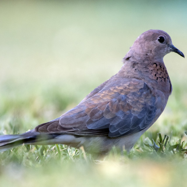 """Laughing Dove"" stock image"