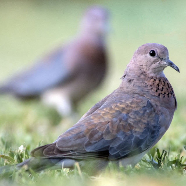 """Laughing Doves"" stock image"