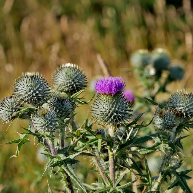 """Spear Thistle (Cirsium vulgare)"" stock image"