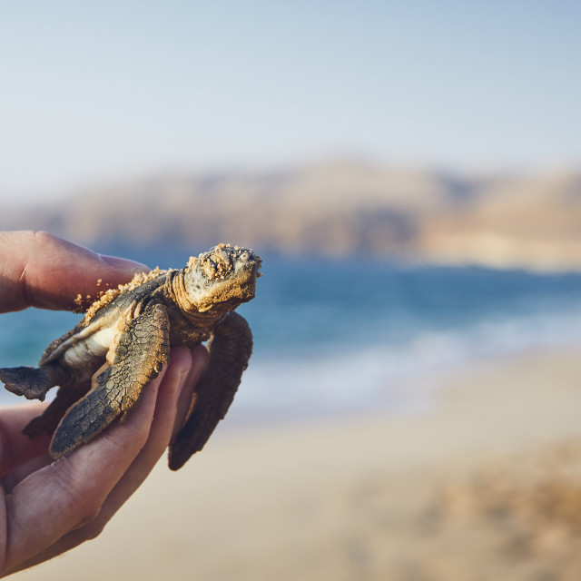"""""""Rescue of green turtle"""" stock image"""