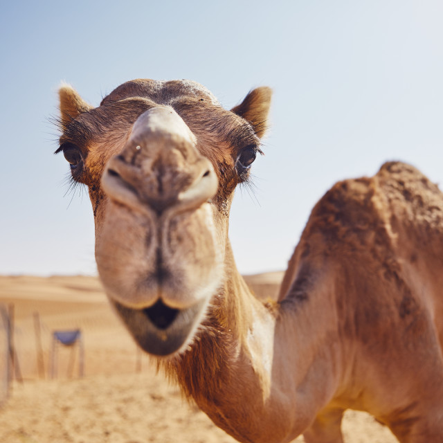 """""""Curious camel in desert"""" stock image"""
