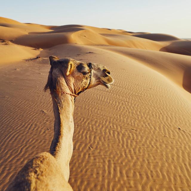"""Camel on sand dune"" stock image"
